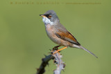 Spectacled Warbler (Sterpazzola della Sardegna)