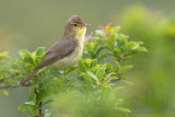 Melodious Warbler (Canapino)