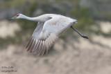Grue du Canada - Sandhill Crane - 9 photos
