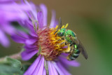 Metallic green sweat bee on New England aster