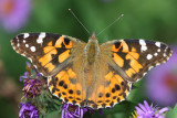 Painted lady butterfly on New England aster