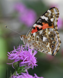 Painted lady butterfly on meadow blazingstar