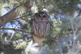 Barred owl roosting in pine trees