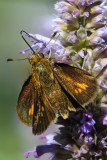 Fiery skipper butterfly on hyssop