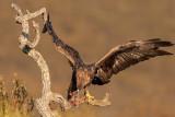 Águia-real  ---  Golden Eagle  ---  (Aquila chrysaetos)