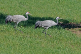 Grou  ---  Crane  ---  (Grus grus)