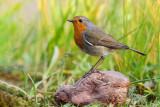Pisco-de-peito-ruivo  ---  Robin  ---  (Erithacus rubecula)