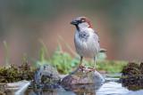 Pardal  ---  House Sparrow  ---  (Passer domesticus)