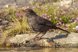 Melro --- Black Bird --- (Turdus merula)