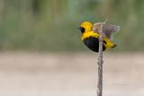Bispo-de-coroa-amarela --- Yellow-crowned Bishop --- (Euplectes afer)