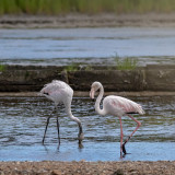 Flamingo  ---  Greater Flamingo  ---  (Phoenicopterus ruber)
