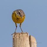Alvéola-amarela  ---  Yellow Wagtail  ---  (Motacilla flava)
