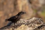 Corvo --- Raven --- (Corvus corax)