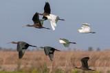 Carraceiro --- Cattle Egret --- (Bubulcus ibis) & Ibis-preto  ---  Glossy Ibis  ---  (Plegadis falcinellus)