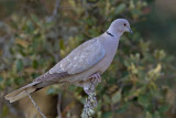 Rola-turca --- Collared Dove --- (Streptopelia decaocto)