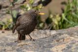 Melro --- Black Bird --- (Turdus merula)