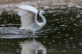 Garça-branca --- Little Egret --- (Egretta garzetta)