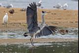 Garça-real --- Grey Heron --- (Ardea cinerea)