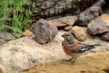 Pintarroxo --- Linnet --- (Carduelis cannabina)