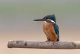Guarda-rios  ---  Kingfisher  ---  (Alcedo atthis)7M_898921.jpg