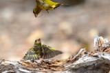 Verdilhão --- Greenfinch --- (Carduelis chloris)