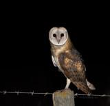 Coruja-das-torres --- Barn Owl --- (Tyto alba)