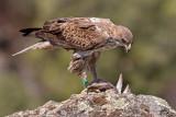Águia-perdigueira --- Bonelli's Eagle --- (Hieraaetus fasciatus)