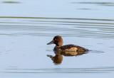 Zarro-Negrinha  ---  Tuffed Duck  ---  (Aythya fuligula)