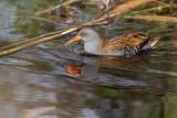 Frango-d'água  ---  Water Rail  ---  (Rallus aquaticus)