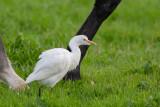 Carraceiro  ---  Cattle Egret  ---  (Bubulcus ibis)