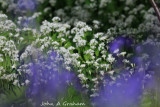 Wild Garlic with Bluebells