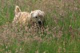 Ozzy loves tall grass