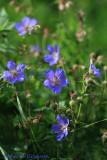 Meadow Cranesbill