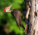 Pileated Woodpecker_9578.jpg