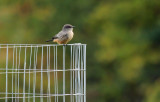 Say's Phoebe - Sept 2017