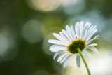A single Daisy