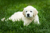 English Golden Retriever puppy 2