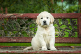 English Golden Retriever puppy 4