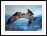 Helens Osprey...