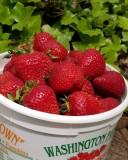 Yummo! It's strawberry season!