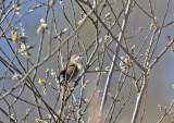 Savi´s warbler