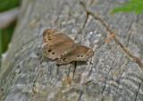 Dårgräsfjäril (Lopinga achine)