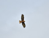 Western Marsh Harrier
