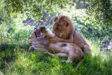 Lions, Oakland Zoo