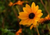 Prairie Sunflower Profile