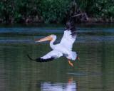 Gulls, Terns & Pelican