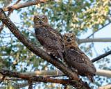 Great Horned Owl fledgings