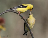 American Goldfinch with fledging