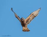 Swanson's Hawk