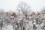 Snowy Bushes